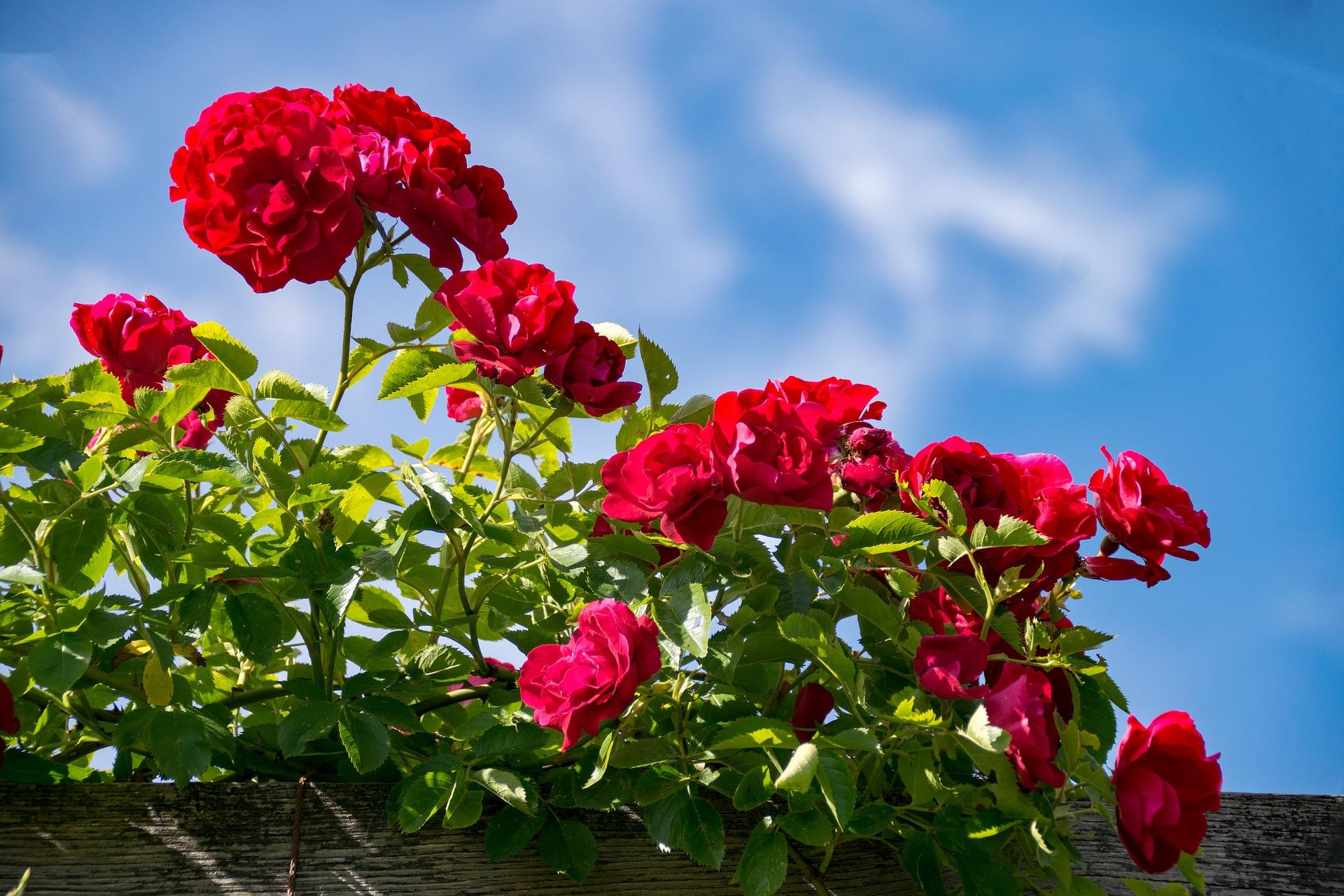 Rote Rosen auf der Rosenhöhe